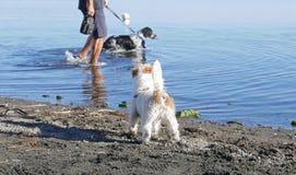 Hunde- Neid, freier Hund gegen Hund auf Leine lizenzfreie stockfotografie