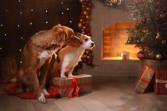 Hunde Nova Scotia Duck Tolling Retriever und Jack Russell Terrier Christmas, neues Jahr, Feiertage und Feier Lizenzfreies Stockfoto