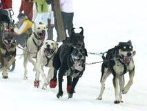Hunde, Pferdeschlitten und mushers in Pirena 2012 Lizenzfreies Stockbild