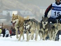 Hunde, Pferdeschlitten und mushers in Pirena 2012 Lizenzfreie Stockfotografie