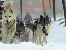 Hunde, Pferdeschlitten und mushers in Pirena 2012 Stockbilder