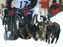 Hunde, Pferdeschlitten und mushers in Pirena 2012 Lizenzfreies Stockfoto