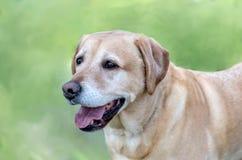 Hunde- Porträt des schönen golden retriever lizenzfreie stockbilder