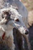 hunde Russischer Jagdhund Lizenzfreie Stockfotografie
