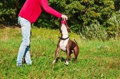 Hunde-stafordshirsky Terrierspiele mit dem Eigentümer Stockfoto