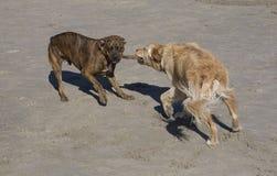 Hunde- Tauziehen Stockfoto