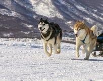 Hunde team Betrieb im Schnee auf Kamchatka Stockfotografie
