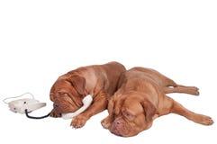 Hunde am Telefon Stockfotos