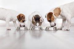 Hunde und Katze, die Nahrung essen lizenzfreies stockfoto