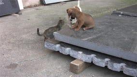 Hunde und Katzenspielen stock footage