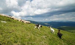 Hunde und Schafe auf dem Berg Stockbild