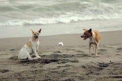 Hunde verbinden in Batuhiu-Strand stockbild