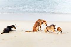 Hunde von Sri Lanka Stockbild