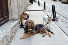 Hunde warten auf ihren Hundewanderer Lizenzfreies Stockbild