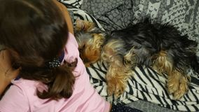 Hunde-Yorkshire-Terrier, der auf dem Bett nahe bei einem Haustier schläft, ist- ein Mädchen stock footage