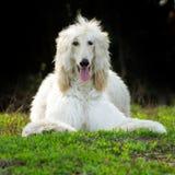 Hundeafghane Lizenzfreie Stockfotos