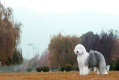 Hundealter englischer Schäferhund lizenzfreies stockfoto