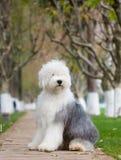 Hundealter englischer Schäferhund lizenzfreie stockbilder