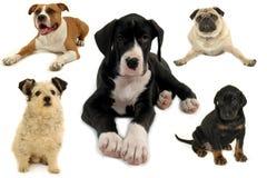 Hundeansammlung auf weißem Hintergrund Stockbild