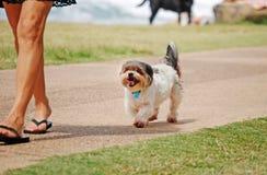 Hundeansicht-Haustierhündchen, das hinter Fraueneigentümer geht Lizenzfreies Stockfoto