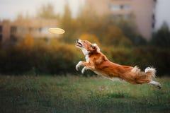 Hundeanziehende Scheibe im Sprung lizenzfreies stockbild