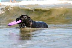 Hundeaufenthalt in den Wellen im Meer mit Spielzeug lizenzfreie stockfotos