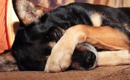 Hundebedeckungwekzeugspritze Lizenzfreie Stockfotografie