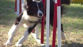 Hundebeweglichkeit stock footage