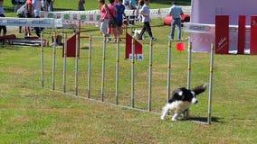 Hundebeweglichkeit stock video