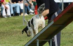 Hundebeweglichkeit Lizenzfreies Stockfoto