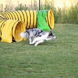 Hundebeweglichkeit Stockfoto