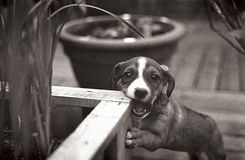 Hundebiss-Pflanzer Stockfotos