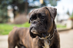 Hundeboxer Stockfotos