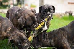 Hundeboxer Stockbilder