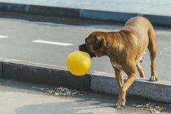 Hundeboxer züchtet auf einem Weg mit einem Ball lizenzfreies stockfoto