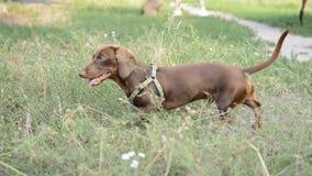 Hundebrauner Dachshundweg auf dem Naturpark stock video footage