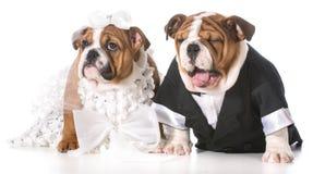 Hundebraut und -bräutigam stockfoto