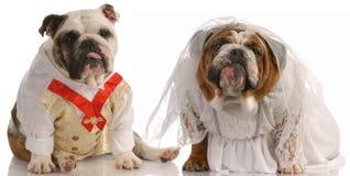 Hundebraut und -bräutigam stockbilder