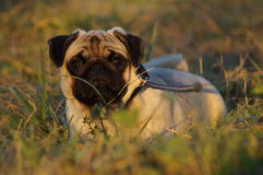 Hundebrut Pug Stockbilder