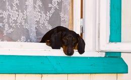 Hundedachshund, der heraus das Fenster schaut Stockbild
