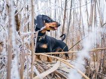 Hundedachshund Dominik Stockfoto