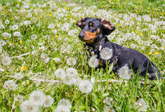 Hundedachshund Dominik Stockbilder