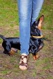 Hundedachshund führt den Wirt durch Lizenzfreies Stockbild