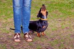Hundedachshund führt den Wirt durch Stockbild