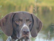 Hundedeutsch kurzhaar lizenzfreies stockbild