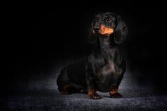 Hundedeutscher behaarter Dachshund Stockfotografie