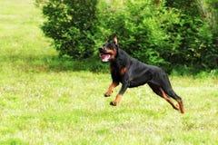Hundedobermann Pinscher, der an einem Galopp läuft Stockfotos