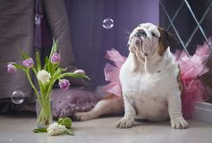 Hundeenglische Bulldogge, die Seifenblase betrachtet lizenzfreie stockbilder