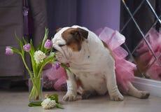 Hundeenglische Bulldoggenschnüffelnblumen stockfotografie