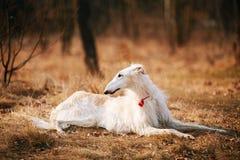 Hundeentspringen russischer Barzoi-Wolfshund-Kopf, draußen, Autumn Season Lizenzfreie Stockfotografie
